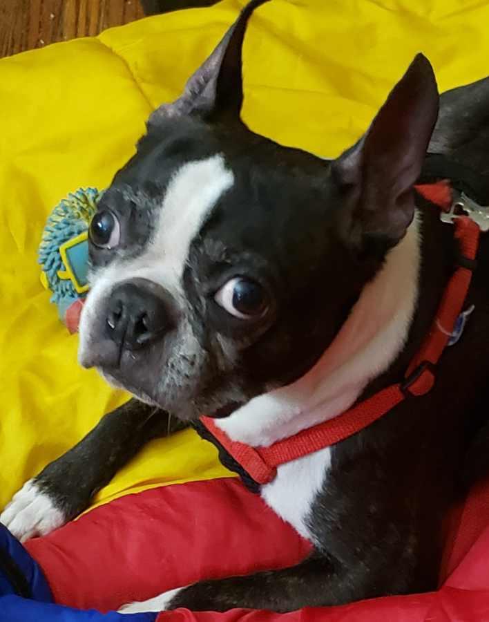 my boston terrier named beans