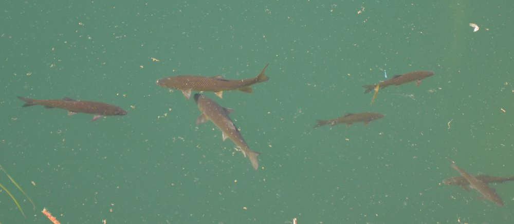 fish spotted in lake marathon near the dam, greece