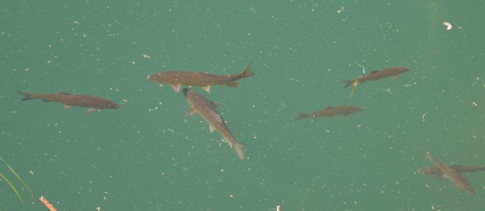 fish spotted in lake marathon near the dam, greece